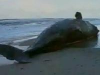 腐敗したクジラ、ガスが溜まって爆発