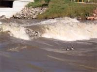 流れの激しい川でガチョウたちが大変なことになってる