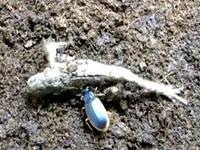 カエルを殺して食べちゃう、とんでもない虫が発見された