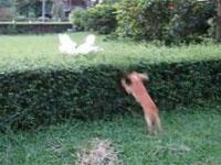 ジャンプ力が全然足りなかったワンコ。垣根に吸収されてしまう。ループしすぎ