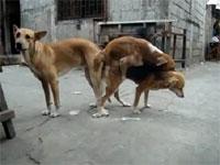 フィリピンの野良犬はフリーダムすぎるw路上で3Pセックスしている犬