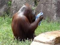 完全におっさんな多摩動物公園のオラウータンが話題。タオルで顔をフキフキ