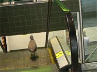 鳥さんが必死にエスカレーターを降りようとしている映像。