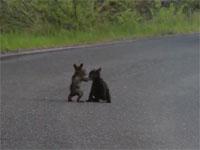 路上にてクマ2匹が激しくバトル、ストリートファイト