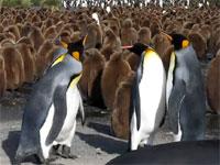 可愛いけれど本人たちは至って真面目、キングペンギン同士の喧嘩