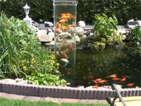 鯉にも好奇心ってあるのだろうか。池に垂直水槽を設置したらみんな集まった